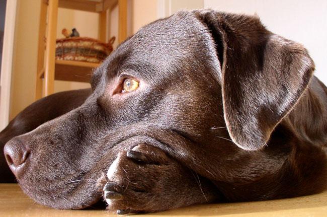Labrador Jantar Dezember 2007 Die Süßeste Schokoschnute Seit Es